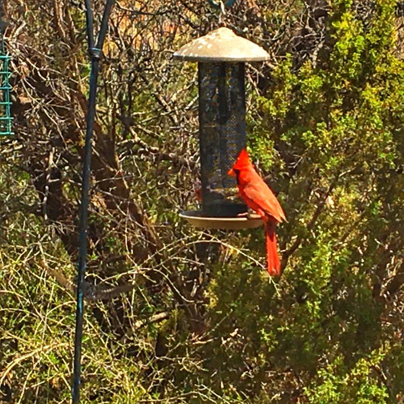 pd cardinal.jpg